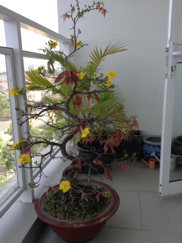 My Tet tree on first day of blooming (about a week too late!)